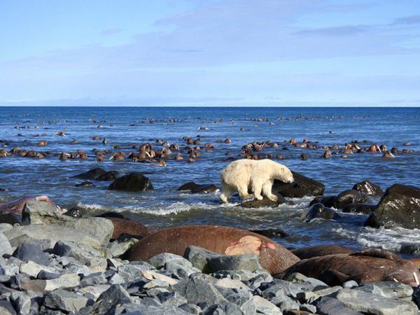 Фотогалерея: Моржи и белые медведи Чукотки, фото-тур. 2018г.