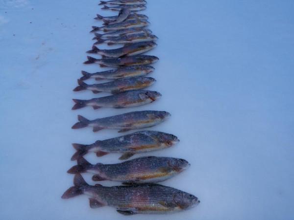 Фотогалерея: Зимняя рыбалка в Хабаровском крае. Таймень, ленок 2017г.